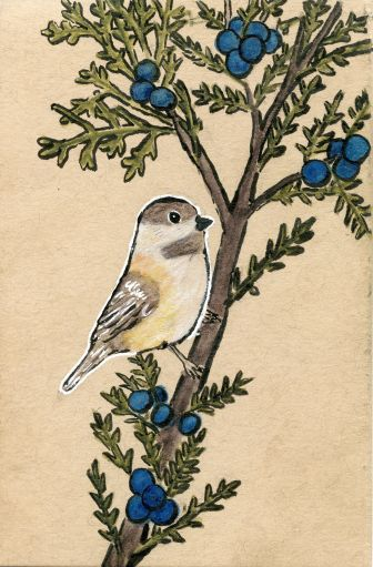 Chickadee on a Juniper Bush